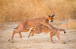 Caracal (Caracal caracal) catching female in courtship chase, South Africa. Captive. Sequence 1 of 3  -  Klein & Hubert