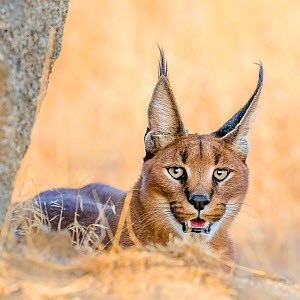 Caracal (Caracal caracal) portrait, South Africa. Captive. - Klein & Hubert