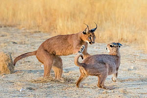 Caracal (Caracal caracal) pair playing during courtship, South Africa. Captive. - Klein & Hubert
