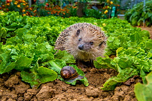 European hedgehog (Erinaceus europaeus) in kitchen garden, walking in the evening between young lettuce  looking for snails, France Controlled conditions. - Klein & Hubert