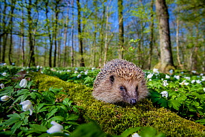 European hedgehog (Erinaceus europaeus) in forest in spring with Snowdrop anemone (Anemone sylvestris), France, Controlled conditions.  -  Klein & Hubert