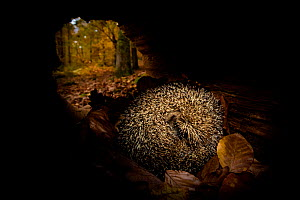 European hedgehog (Erinaceus europaeus) in autumnal forest, sleeping in a hollow trunk - hibernation, France Controlled conditions. - Klein & Hubert