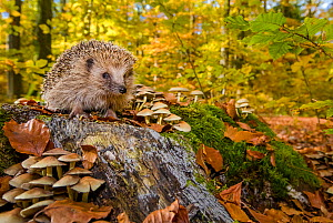 European hedgehog (Erinaceus europaeus) on stump in forest in autumn, France Controlled conditions. - Klein & Hubert