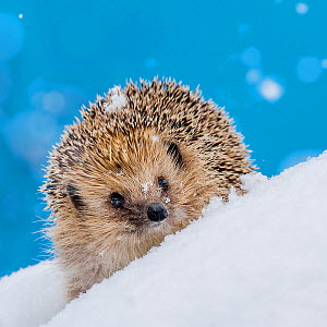 European hedgehog (Erinaceus europaeus) in the snow - waking up during hibernation often associated with change of nest and possible food intake, France Controlled conditions.  -  Klein & Hubert