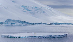 Crabeater seal (Lobodon carcinophaga) on floating pack ice, Antarctica  -  Klein & Hubert