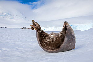 Crabeater Seal (Lobodon carcinophaga) adult resting  on coastal ice, Antarctica.  -  Klein & Hubert