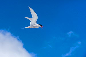 Antarctic tern (Sterna vittata) in flight, Antarctic Peninsula. - Klein & Hubert