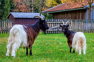 Two Valais blackneck goats, Switzerland. - Klein & Hubert