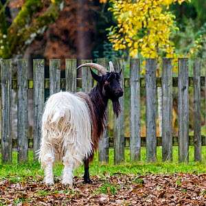 Valais blackneck goat, Switzerland. - Klein & Hubert