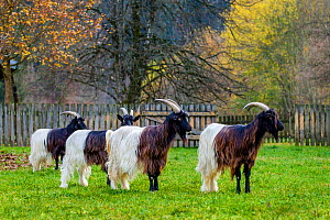 Group of Valais blackneck goats, Switzerland. - Klein & Hubert