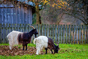Two Valais blackneck goats, one grazing, Switzerland. - Klein & Hubert