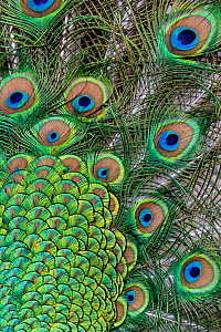 Close-up of a Peacock (Pavo cristatus) displaying, showing detail of tail feathers, Germany - Klein & Hubert