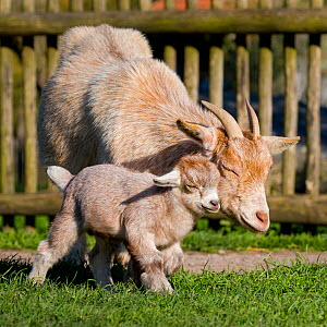 Pygmy Goat doe and kid in enclosure in summer, Germany.  -  Klein & Hubert