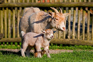 Pygmy Goat doe and kid in enclosure in summer, Germany/  -  Klein & Hubert