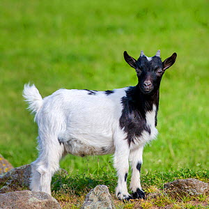 Pygmy goat kid in meadow in summer, Germany.  -  Klein & Hubert