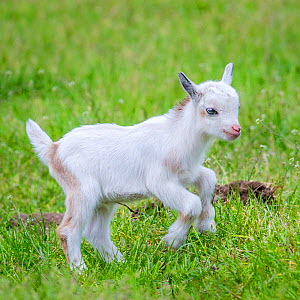 Pygmy goat kid playing in meadow in summer, Germany. - Klein & Hubert