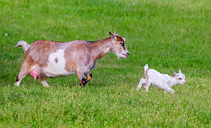 Pygmy goat doe and kid walking in meadow in summer, Germany  -  Klein & Hubert