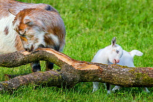 Pygmy goat doe and kid playing with trunk in meadow in summer Germany  -  Klein & Hubert