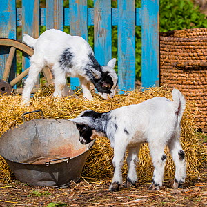 Pygmy goat two kid standing on hay bail. Germany.  -  Klein & Hubert