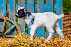 Pygmy goat kid standing on hay bail. Germany.  -  Klein & Hubert