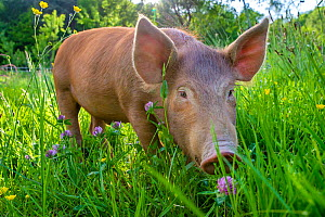 Domestic Tamworth piglet in meadow in spring, Germany.  -  Klein & Hubert