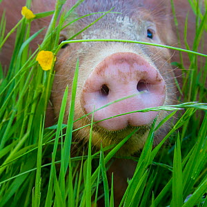 Domestic Tamworth piglet in meadow in spring, close up of snout / nose, Germany  -  Klein & Hubert