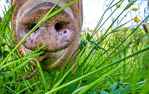 Domestic Tamworth pig, sow close up of nose, Germany  -  Klein & Hubert