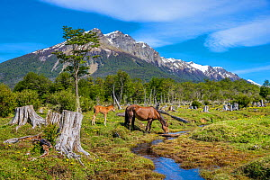 Semi-wild bay Criollo mare with foal, drinking from a stream and foal, Tierra del Fuego, Argentina. - Klein & Hubert