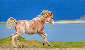 Semi-wild juvenile sabino Criollo horse, aged one year,   running with sea in the background, Tierra del Fuego, Argentina. - Klein & Hubert