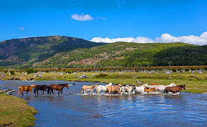 Group of of semi-wild Criollo horses crossing a river, Patagonia, Argentina. - Klein & Hubert