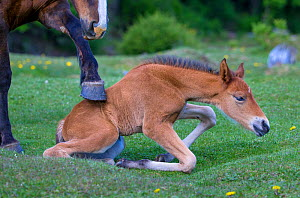 Semi-wild Criollo mare waking up her newborn foal by touching its back with her hoof, Patagonia, Argentina.  -  Klein & Hubert