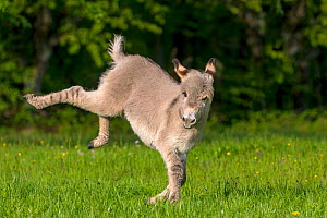 Domestic donkey, foal age two months, foal running and bucking in a meadow in spring, France  -  Klein & Hubert