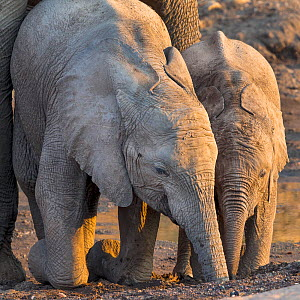 African elephant (Loxodonta africana) calves drinking from holes in dried up river bed, Botswana. - Klein & Hubert