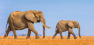 Female African elephant (Loxodonta africana) walking with juvenile, Kajiado County, Kenya  -  Klein & Hubert