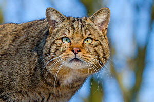 Wild cat (Felis sylvestris) in winter - portrait, France. . Captive.  -  Klein & Hubert