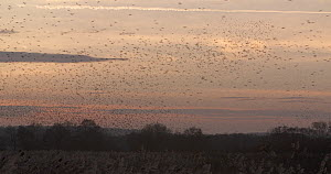 Wide angle shot of a murmuration of Common starlings (Sturnus vulgaris) over reedbeds at dusk, Ham Wall RSPB Reserve, Somerset Levels,  UK,  December. - John Waters