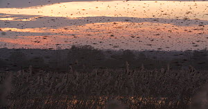 Murmuration of Common starlings (Sturnus vulgaris) over reedbeds at dusk, Ham Wall RSPB Reserve, Somerset Levels,  UK,  December. - John Waters