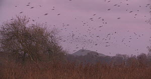 Flock of Common starlings (Sturnus vulgaris) flying into reedbed to roost at dusk, Ham Wall RSPB Reserve, Somerset Levels,  UK,  December. - John Waters