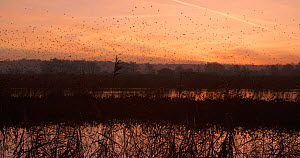 Wide angle shot of a flock of Common starlings (Sturnus vulgaris) flying into reedbed to roost at dusk, Ham Wall RSPB Reserve, Somerset Levels,  UK,  December. - John Waters
