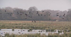 Slow motion clip of a flock of Northern lapwings (Vanellus vanellus) flying over a flooded marsh, Catcott Lows Nature Reserve, Somerset Levels,  England, UK, December.  -  John Waters