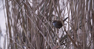 Cetti's Warbler (Cettia cetti) singing in reeds at dawn, Ham Wall RSPB Reserve, Somerset Levels,  England, UK, December. - John Waters