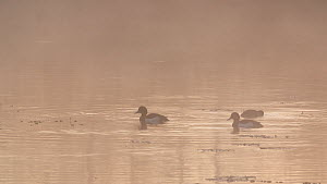 Three Tufted ducks (Aythya fuligula) surfacing on a misty lake at dawn, Westhay Moor National Nature Reserve, Somerset Levels,  England, UK, April.  -  John Waters