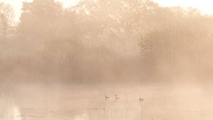 Three Tufted ducks (Aythya fuligula) swimming and diving on a misty lake at dawn, Westhay Moor National Nature Reserve, Somerset Levels,  England, UK, April.  -  John Waters