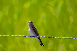 Sand martin (Riparia riparia) perched on wire, Madison, Montana, USA, June. - Phil Savoie