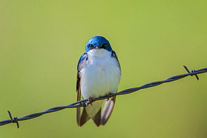 Tree swallow (Tachycineta bicolor) perched on barbed wire, Montana, USA, June.  -  Phil Savoie