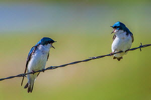 Tree swallows (Tachycineta bicolor), perched on wire, calling aggressively to each other, Madison River, Montana, USA, June. - Phil Savoie