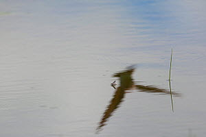Reflection of Sand Martin (Riparia riparia) hunting Speckled mayfly (Callibaetis sp.) Madison River, Montana, USA, May. - Phil Savoie