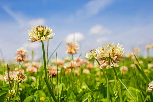 Clover (Trifolium sp) flowers in unmown lawn, Monmouthshire, Wales, UK, June.  -  Phil Savoie