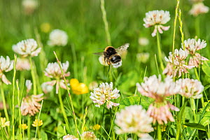Buff-tailed bumblebee (Bombus terrestris) feeding from Clover (Trifolium) flowers, Monmouthshire, Wales, UK. June.  -  Phil Savoie