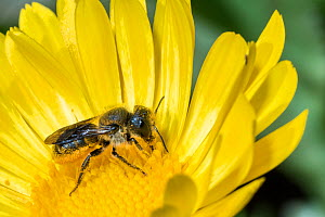 Spined mason bee (Osmia spinulosa) female visiting yellow composite flower,  Monmouthshire, Wales, UK, June.  -  Phil Savoie